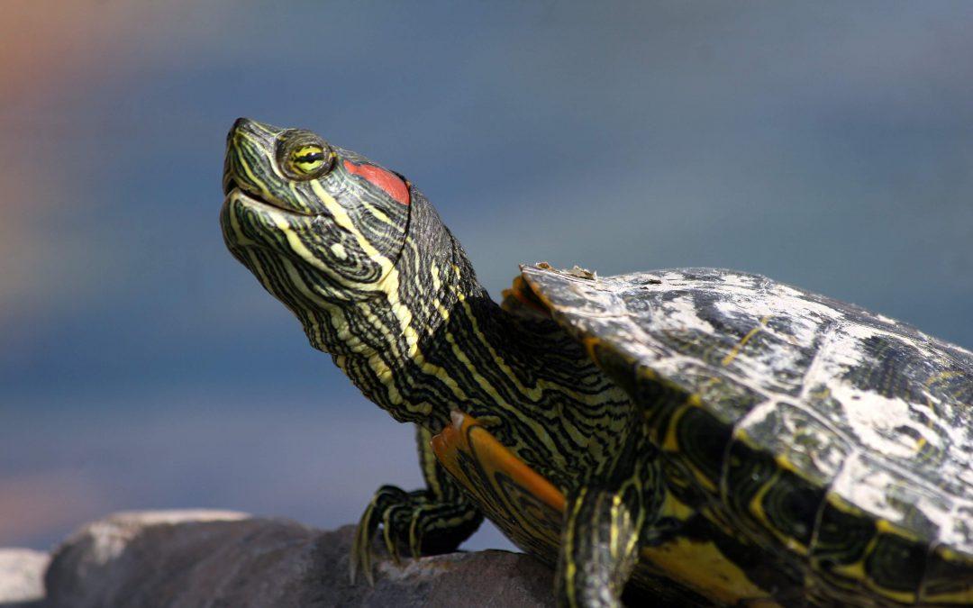 The Sad Life Of Pet Turtles